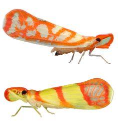 two unidentified Otiocerus species
