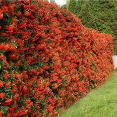 Pyracantha is a genus of thorny evergreen large shrubs in the family Rosaceae, with common names firethorn or pyracantha. Garden Hedges, Garden Fencing, Garden Plants, Hedging Plants, Bamboo Plants, Evergreen Shrubs, Trees And Shrubs, Privacy Landscaping, Garden Landscaping