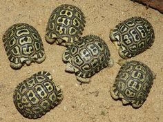 6 baby leopard tortoises at Zoo Prague