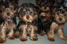 Ginger's puppies - Taken by Kristie Zapf