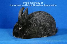 Silver Fox Rabbit -- dresses out at 65% of live weight making it a great meat rabbit. Pelt is highly desirable. Rabbit is docile and an easy keeper.