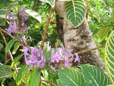 Giuliana Rossi uploaded this image to 'fiori a Sri Lanka'.  See the album on Photobucket. Variegated leaves of Sanchezia with flowers of another plant