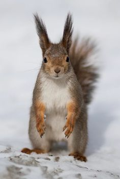 Squirrel Pictures, Animal Pictures, Cute Pictures, Hamsters, Rodents, Woodland Creatures, Woodland Animals, Tree Rat, Cute Squirrel