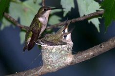 Attracting hummingbirds is easy when you start thinking like a hummingbird! Experts Kenn and Kimberly Kaufman explain what these birds really want and need.