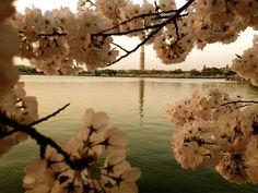 Cherry BlossomsDC98_MQ2013