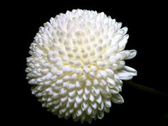 White chrysanthemum. These flowers were first cultivated in China as flowering herbs as far back as the 15th century BC.
