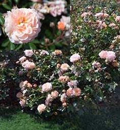 Apricot Drift® Rose - this is in our front landscaping bed. Among red Knockout roses.