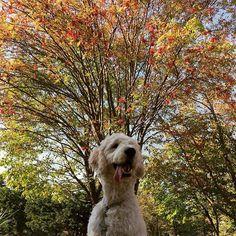 autumn🍂 ナナカマドの木 #秋晴れ#公園#ナナカマド #紅葉 #散歩#あつい #舌が出る#ゴールデンドゥードル #ポチ#愛犬#ミックス犬#フワモコ部#いぬのいる暮らし#北海道 #dogstagram #dog#goldendoodle#autumn #hokkaido #doglife #neture #instadog
