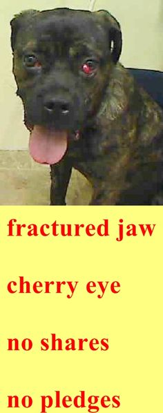 SAFE 04/10/15 by Adopt a Boxer Rescue –-- SUPER URGENT 04/05/15  Manhattan Center     MOOKY – A1032241  ***FRACTURED JAW – FELL OFF BUILDING***     MALE, BR BRINDLE, BOXER MIX, 1 yr STRAY – STRAY WAIT, NO HOLD Reason STRAY Intake condition INJ SEVERE Intake Date04/05/2015, http://nycdogs.urgentpodr.org/mooky-a1032241/