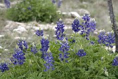 Google Image Result for http://www.sonofthesouth.net/texas/flower-pictures/texas-wildflowers.jpg