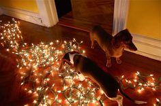 2 dachshunds + christmas tree lights = photo op
