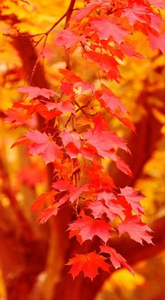 Crisp Autumn days, leaves red and yellow.  Such Perfect bliss bright and mellow! ~ Julie Shaver.