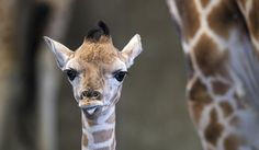 Baby giraffe dies after running into a wire fence