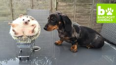 MEET the unconventional and miniature family who will melt your heart. Dachshunds Maya, Peanut and Minnie the Hedgehog are one very happy family, whose antics are supervised by adoring owner Natasha Fernandes. The trio have been delighting the internet with their antics since 2015 and they now have over 28,000 followers on their Instagram account @mayathesausage .                                          Videographer / director: Natasha Fernandes                     Producer: Hannah…