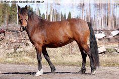 Estonian Native / Klepper - mare Vapper Meeri