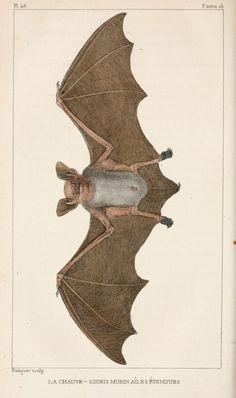 img/dessins-gravures mammiferes Buffon/dessin-gravure mammifere buffon - chauve-souris murin ailes etendues.jpg