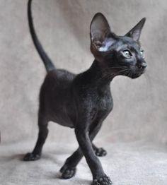 Siamese Oriental Kittens  ACFA CFA / Ebony Oriental.