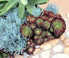 Succulents (Aeonium Velour).  Example of plantings which contrast in color and shape.