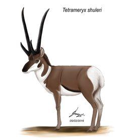 Tetrameryx shuleri