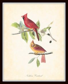 Vintage Bird Print Bay Northern Cardinal
