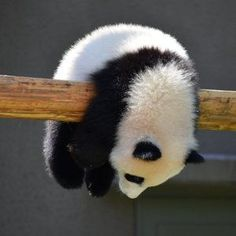 People love Pandas they are like babies. They are cute and cuddly.But do you know that a giant panda is actually a bear. Here are Interesting Fun Facts About Panda You Probably Didn't Know Before. Cute Funny Animals, Cute Baby Animals, Animals And Pets, Wild Animals, Farm Animals, Niedlicher Panda, Cute Panda, Funny Panda Pictures, Cute Animal Pictures
