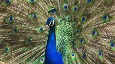 hd wallpaper of peacock
