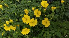 Check out the bright Mercardonia Magic Carpet Yellow blooms! These flowers look great with hot pinks and orange!
