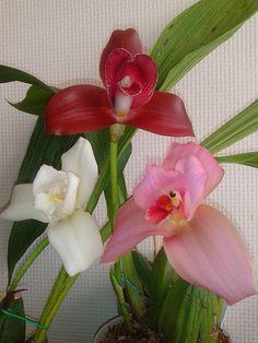 lycaste Orchid species | 13535376674_c8fd4b0e55_z.jpg