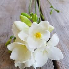 Freesias - Google Search