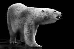 polar bear by Wolf Ademeit / Polar Bears Live, Penguins And Polar Bears, White Polar Bear, White Bear Lake, White Bears, Wolf, Polar Bear Illustration, Angry Bear, Wild Animals Photography