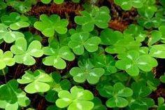 Gradinarit anotimp cu anotimp: Plante aducatoare de noroc