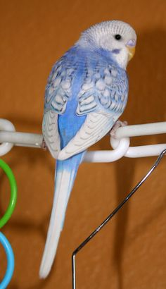 Violet-blue opaline spangle male American x English budgie