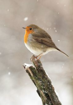 European robin (Erithacus rubecula), most commonly known in Anglophone Europe… Cute Birds, Pretty Birds, Small Birds, Little Birds, Colorful Birds, Beautiful Birds, Animals Beautiful, Cute Animals, Animals In Snow