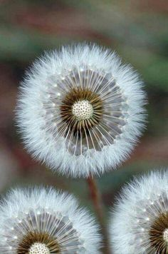 dandelions~ not a flower but close enough
