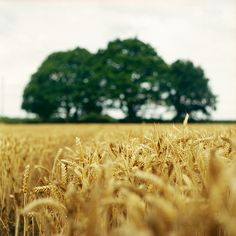 a field of wheat anywhere and everywhere in the world is by far one of the nicest places to be <3