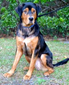 Meet Luke, an adoptable Shepherd looking for a forever home. If you're looking for a new pet to adopt or want information on how to get involved with adoptable pets, Petfinder.com is a great resource.