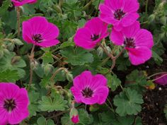 GERANIUM cinereum var. subcaulescens 'Purpureum' - Storkenæb, farve: purpurrød/mørke årer, lysforhold: sol, højde: 20 cm, blomstring: juni - juli, god til bunddække.