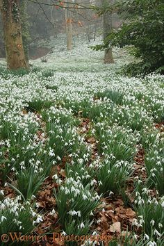 oodland with Snowdrops (Galanthus nivalis).  Gloucestershire, England.