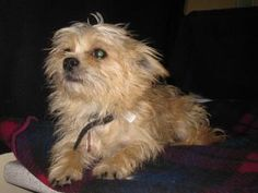 Tofu is an adoptable Yorkshire Terrier Yorkie Dog in Calgary, AB. Tofu is a playful little guy ready to to take Calgary by storm. His tail never stops and there are plenty of kisses. He wants nothing ...