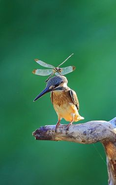 Kingfisher - birds and baking Pretty Birds, Love Birds, Beautiful Birds, Animals Beautiful, Animals Amazing, Animals And Pets, Funny Animals, Cute Animals, Nature Animals
