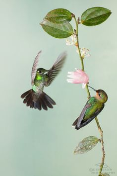 Stunning!  green-crowned brilliants Hummingbirds