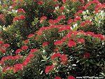 Pohutukawa Tree, also called the New Zealand Christmas Tree. View gallery of Pohutukawa flower photos and read article about this New Zealand tree. Flower Photos, House Plants, New Zealand, Home And Garden, Christmas Tree, Gallery, Flowers, Art Ideas, Trees