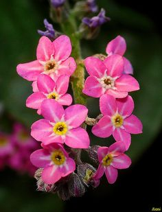 pink forget me nots | Pink Forget-Me-Not | Flickr - Photo Sharing!