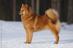 Dog of the Day: Our Old Friend, Charley the Finnish Spitz ...  Finnish Spitz Lab Mix