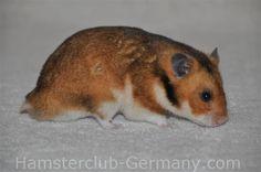 Golden SH male (++)   Hamster Club Germany - Farbschläge des Syrischen Goldhamsters