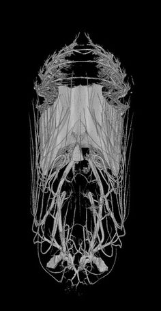 CT scan of a day-old monarch butterfly chrysalis, and side view of a 9-day old monarch butterfly chrysalis| Micro Photonics Inc