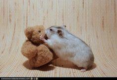 Teddy Bear Hamster   I Love Animal   Pinterest   Hamsters ...
