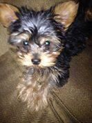 Meet Tara - PENDING, a Petfinder adoptable Yorkshire Terrier Yorkie Dog | Council Bluffs, IA | Tara is a 10 week-old Yorkie who is full of life. In typical puppy fashion, she loves to play. She...
