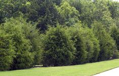 5 Best Trees For Privacy That Grow Fast - Gardeners' Guide-eastern red cedar Best Trees For Privacy, Shrubs For Privacy, Privacy Landscaping, Backyard Privacy, Evergreen Trees For Privacy, Landscaping Tools, Trees And Shrubs, Trees To Plant, Fast Growing Hedge