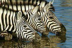 Go on a safari in Africa